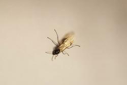 Exemplar de formiga voladora