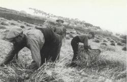 La sega. Dècades dels 50 i dels 60 del segle XX. Autor: Sadurní Blanchar.